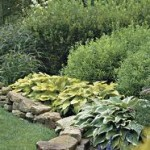 Photo of hosta plants